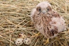 Young falcon bird Royalty Free Stock Photography
