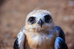young falcon bird Royalty Free Stock Photo