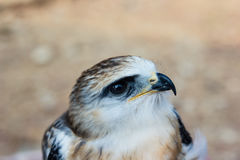 Young falcon bird Royalty Free Stock Images