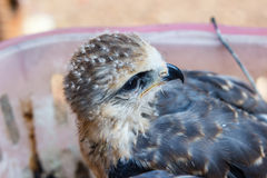 Young falcon bird Royalty Free Stock Photography