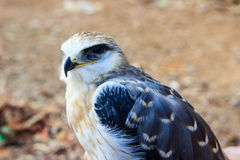 Young falcon bird Stock Photography