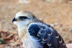 Young falcon bird Royalty Free Stock Photos