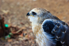 Young falcon bird Stock Photos