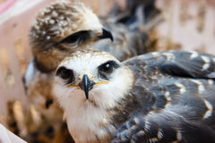 Young falcon bird Stock Images