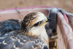 Young falcon bird Royalty Free Stock Image