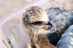 Young falcon bird Stock Photo