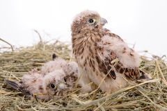 Young falcon bird Royalty Free Stock Photos