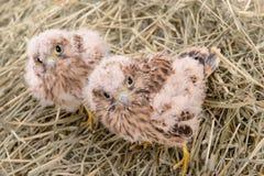 Young falcon bird Stock Photo