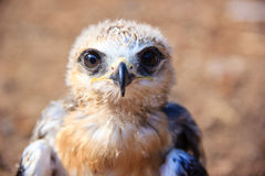 Young falcon Stock Images