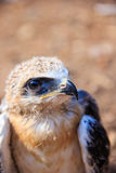 Young falcon Stock Photography