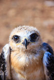 Young falcon Royalty Free Stock Image