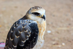 Young falcon Royalty Free Stock Photography