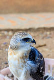 Young falcon Royalty Free Stock Photos