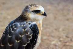 Young falcon Royalty Free Stock Photo
