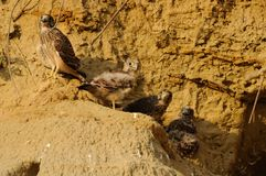 Young Falcons. Four young falcons in her nest in a wall of sand Stock Image