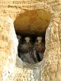 Young Falcons. Three young falcons in her nest in a wall of sand Royalty Free Stock Images
