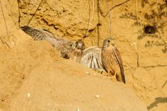 Young Falcons. Three young falcons outside her nest in a wall of sand Stock Photo