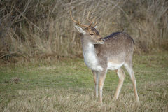 Young fallow buck Royalty Free Stock Photography