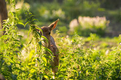 Young fallow dear behind the grass Royalty Free Stock Images