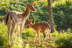 Young fallow dear with mum. Young fallow dear in couple with mum Royalty Free Stock Images