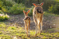 Young fallow dear with mum Royalty Free Stock Image