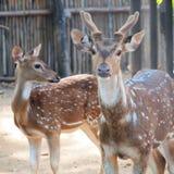 Young Fallow Deer. Close up stock image
