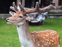 Young Fallow deer. A young fallow deer looking into the camera Stock Photos