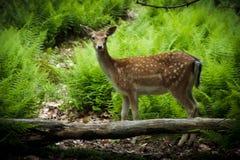Young Fallow Deer. A young fallow deer (Dama dama) fawn in its natural habitat Stock Photos