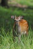 Young Fallow Deer Stock Image