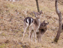 Young fallow-deer Stock Images