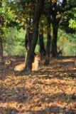 Young Fallow Deer Royalty Free Stock Photos