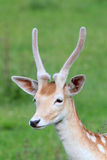 Young fallow deer Stock Photography