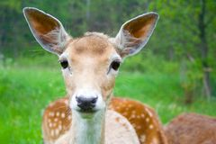 Free Young Fallow Deer Stock Photography - 34719342