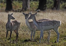 Young fallow Deer Royalty Free Stock Photos