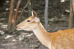 Young Fallow Deer. Animal deer  male  nature  zoo Stock Photos