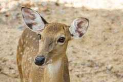 Young Fallow Deer. Animal deer  male  nature  zoo Royalty Free Stock Photos