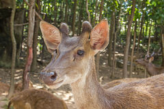 Young Fallow Deer. Animal deer  male  nature  zoo Royalty Free Stock Image