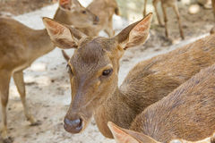 Young Fallow Deer. Animal deer  male  nature  zoo Stock Image