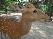 Young fallow deer. Animal, zoo stock photography