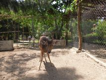 Young fallow deer. Animal, zoo stock image