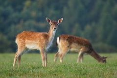 Young fallow deer Stock Photo
