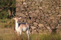Young Fallow Deer Buck Stock Photos