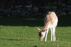 Young Fallow Deer Buck Royalty Free Stock Photo