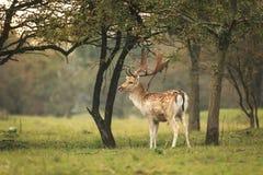 Young fallow deer buck, Dama Dama, walking in a dark forest Stock Image