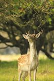 Young fallow deer buck, Dama Dama, walking in a dark forest Stock Images
