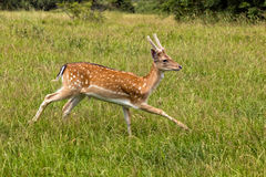 Young Fallow Deer Buck - Dama dama, Warwickshire, England. Royalty Free Stock Photo