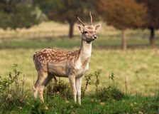 Young Fallow Deer Buck - Dama dama, Warwickshire, England. A young Fallow Deer Buck, Dama dama, or Pricket in the rutting season Royalty Free Stock Photo