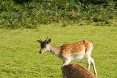 Young Fallow Deer Royalty Free Stock Photo