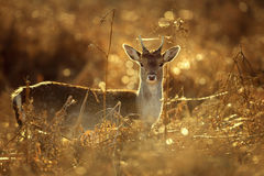 Young Fallow Deer buck in golden light Royalty Free Stock Photos
