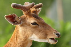 Young fallow deer buck portrait Royalty Free Stock Photos